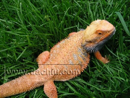 This is my Bearded Dragon Paco